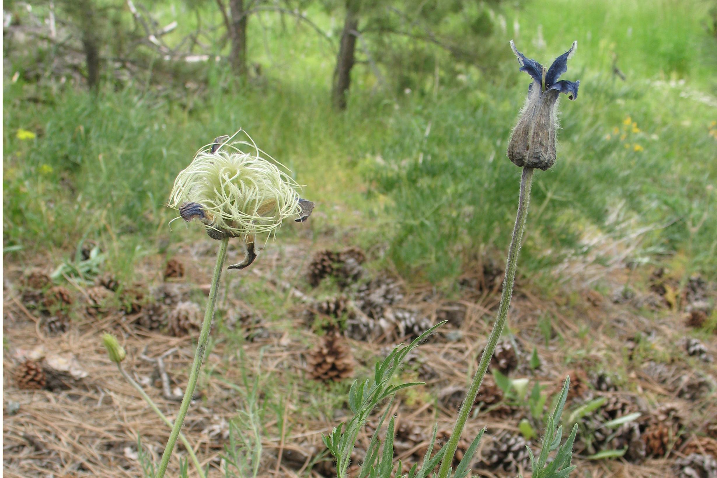 Clematis Hirsutissima Seed Clematis Hirsutissima